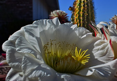 Sunny Side Up (oybay©) Tags: suncitywest arizona unique unusual nightbloom night cactusflower cactus flower flora fiori blumen argentinegiant macro upclose color colors white whiteflower light greatshot coolshot cool indoor black background
