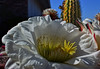Sunny Side Up (oybay©) Tags: suncitywest arizona unique unusual nightbloom night cactusflower cactus flower flora fiori blumen argentinegiant macro upclose color colors white whiteflower light greatshot coolshot cool indoor black background