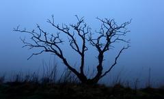 Into the mist (PeskyMesky) Tags: aberdeenshire scotland tree silhouette blue canon canon6d landscape