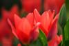 Mother's Day greetings (Karsten Gieselmann) Tags: 40150mmf28 blumen blüten bokeh dof em5markii frühling grün jahreszeiten mzuiko microfourthirds natur olympus pflanzen rot schärfentiefe tulpe blossom flower green kgiesel m43 mft nature red seasons spring tulip burglengenfeld bayern deutschland