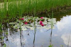 Park Rosenhöhe (ivlys) Tags: darmstadt park rosenhöhe teich pond seerose waterlily blume flower blüte blossom wasser water himmel sky wolke cloud blau blue weis white natur nature ivlys