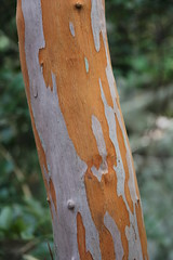 Gossia biwillii Myrtaceae Ironwood 0518 02 Many Peaks Range (John Elliott Townsville) Tags: manypeaksrange gossia gossiabidwillii myrtaceae ironwood bark