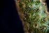 Low key   Macro Mondays (rfabregat) Tags: macro macrophotography macromondays mm lowkey cactus drops detail nikond750 d750 micro nikkor 40mm