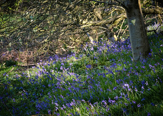 Blue Bells in the Wild Wood