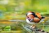 ~ 愛睏~zZ | Rest~zZ ~ (Fu-yi) Tags: 鳥類 雁鴨科 taiwan formosan yilan plumblossomlake meihualake village park natural side wildlife fauna animal male cute nature wet aquatic lagoon creek closeup 自然 湖 水 福爾摩沙 宜蘭 梅花湖 花 highquality breedingfeather spring bird duck teal reproductiveseason yellowwaterlily 台灣萍蓬草 flower 鳥 禽 鴨 水鴨 枯木 繁殖羽 雄 avian 植物 水生植物 漣漪 倒影 單獨 isolated lonely single protection conservation waders bloom 綻放 保育 睏 rest birdwatching pond 觀鳥 witherbark