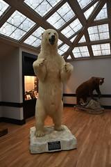 Alaskan Polar Bear - Record Class (Adventurer Dustin Holmes) Tags: 2018 wondersofwildlife bear polarbear white museum alaskanpolarbear animalia chordata taxidermy record recordclass springfieldmo springfieldmissouri