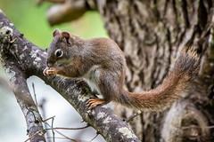 Stevie (ausmc_1) Tags: 2018 yard portalberni wildlife tree vancouverisland nature outdoor nikkor2oo500f56vr canada may britishcolumbia d800 squirrel