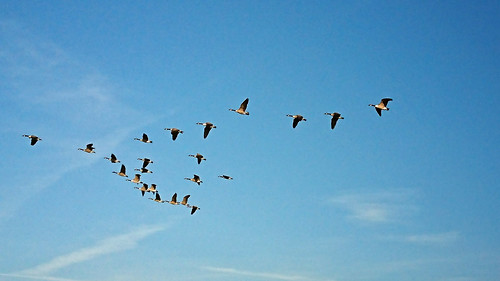 Geese in v-formation, Walberswick