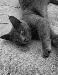 Соня потягивается (sava-vava) Tags: домашние любимцы животные cat cats animals mobile photo lj kf pet kitten animal кошка 2017