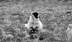 Secure with mum (mootzie) Tags: sheep lamb croft safe woolly monochrome lewis scotland nature black white