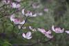 DSC08109 (Old Lenses New Camera) Tags: sony a7r graflex graftar wollensak 103mm f45 plants garden trioptar tree branches flowers dogwood