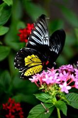 Fluttering Golden Birdwing nectaring on pink Pentas (jungle mama) Tags: pentas pink birdwing goldenbirdwing flutter gold black white wingsofthetropics fairchildtropicalbotanicgarden fairchildgarden susanfordcollins troidesrhadamanthus coth5