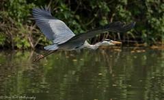 Grey Heron (Steve Ball Photography) Tags: bird birdwatching british heron flight bif nature anglia grey wildlife water