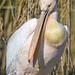 Pelican and reeds