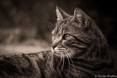 Merlin sépia (Nicolas Rouffiac) Tags: merlin sepia sépia cat cats chat chats pet monochrome