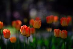 flower 1510 (kaifudo) Tags: sapporo hokkaido japan maruyamapark flower tulip 札幌 札幌市 北海道 円山公園 チューリップ nikon d810 nikkor afs 105mmf14eed 105mm kaifudo