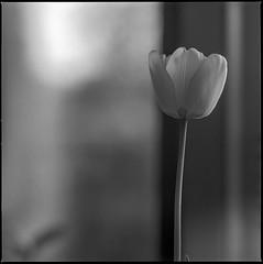 Tulip (K.Pihl) Tags: ilfordpanf5032 proxar1 sonnar150mmf40 rodinal1100 flower standdevelopment pellicolaanalogica stilleben bokeh hasselblad500cm film analog