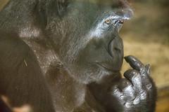 Mother Mandara (Tim Brown's Pictures) Tags: washingtondc nationalzoo animals mammals primates greatapes greatape gorilla westernlowlandgorilla femalegorilla portrait closeup mandara washington dc unitedstates