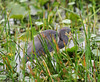 05-21-18-0019070 (Lake Worth) Tags: animal animals bird birds birdwatcher everglades southflorida feathers florida nature outdoor outdoors waterbirds wetlands wildlife wings