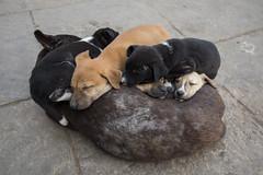 Mothers Warmth (Ravikanth K) Tags: 500px puppies dog mother warmth winter love care varanasi kasi india uttarpradesh kindness cute sleeping kids mothersday cwc cwc623 chennaiweekendclickers outdoor pet animal
