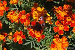 Квіти Чорнобривці InterNetri Ukraine 39