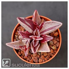 Lenophyllum guttatum variegated