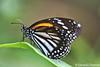 Danaus melanippus hegesippus (White Tiger) (GeeC) Tags: animalia arthropoda brushfootedbutterflies butterfliesmoths cambodia danainae danaus danausmelanippushegesippus insecta kohkongprovince lepidoptera nature nymphalidae papilionoidea tatai truebutterflies whitetiger