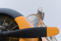 Pre Flight Nap (NicoleW0000) Tags: snowyowl owl wild wildlife airplane aircraft vintage northamericanharvardmarkiina66 airport yellow ontario
