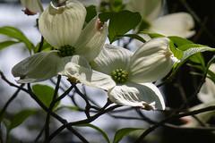 Cornus florida 1 (wundoroo) Tags: nybg newyorkbotanicalgarden newyork bronx spring may nativeplantgarden dogwood floweringdogwood cornus cornusflorida white flowers