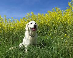 Rhapsody in yellow (Ingrid0804) Tags: goldenretriever canola yellowfield bluesky retriever dog pet