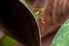 Going Down - _TNY_3361 (Calle Söderberg) Tags: macro canon canon5dmkii canonef100mmf28usmmacro canoneos5dmarkii 5d2 raynox dcr250 flash meike mk300 glassdiffusor insect ant myra vietnam phuquoc mylanresortrestaurant leaf profile oecophylla smaragdina weaverant vävarmyra orangegaster orange formicidae formicinae assup downwards climbing arborealant greenant greentreeant f22