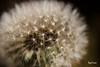 make a wish.... (Key Frame Photography) Tags: dandelion clock wishes