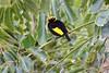 Regent Bowerbird (Sericulus chrysocephalus) (Neil H Mansfield) Tags: sericuluschrysocephalus bird nature native nsw bowerbird regent laurieton camdenhead regentbowerbird