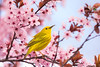 Yellow Warbler Plum Tree (dhfore) Tags: yellowwarbler plumtree bird warbler nature 2018 connecticut ct