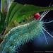 Lepidoptera, Saturniidae