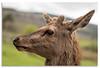 Red Deer, Perthshire, Scotland (Graham Dobson Photography) Tags: falkirkwheel fallsoflocharr kelpies osian owl reddeer scotland lochearn perthshire