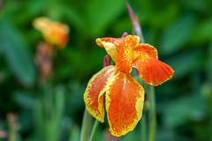 美人蕉Canna lily (游萬國) Tags: cannalily 花 美人蕉 flower orange canna