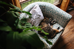 Cat life (beck-chan) Tags: cat calico tabby relaxation cozy home 28mmlens