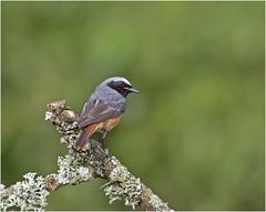 Male Redstart (hisdream) Tags: redstart wildbird perch