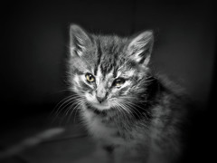 Baby (LupaImages) Tags: cat feline suzann face fur whiskers tiny little baby kitten small indoors love pet animal