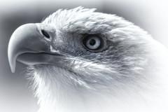 Bald Eagle (R.J.Boyd) Tags: bald eagle bird prey gauntlet hunter predator animal wildlife usa america feathers flying beak mono black white