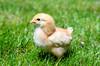Baby Chickens-2 (sammycj2a) Tags: chick chickens backyardfarm farm chicks pullets straightrun backyard nikon nikkor lightroom