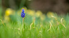 Grape Hyacinth IV (David Ziegler) Tags: grape hyacinth