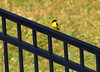 Study in Black and Gold (austexican718) Tags: texas native fauna centraltexas hillcountry wildlife nature bird backyard fence finch goldfinch