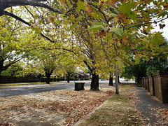 leafy streets in autumn (AS500) Tags: orangensw centralwest country street wide leafy tree autumn leaves