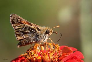IMG_9237. Papillon La sylvaine