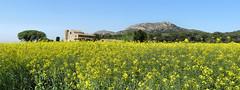 Torroella de Montgrí (Meino NL OFF LINE UNTIL JUNE 21) Tags: torroellademontgrí montgrí koolzaad rapeseed spring voorjaar catalunya catalonië spain españa