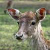 Daim (Phil du Valois) Tags: daim jeune cervidé faune parc geresme fallowdeer