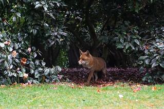 The return of Mr Fox
