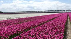 Foto Roel van Deursen Bollenpracht Goeree Overflakkee - Oude Tonge 2018-04-23 (9) (Roel van Deursen) Tags: tulpen vol bloei op goereeoverflakkee 2018
